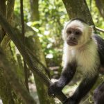 Roatan Monkeys 5